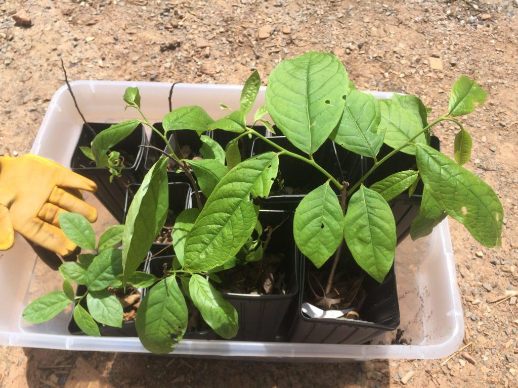 pawpaw seedlings