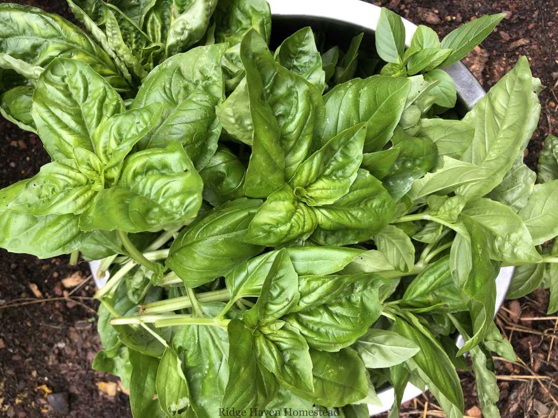 Basil for Plant based pesto