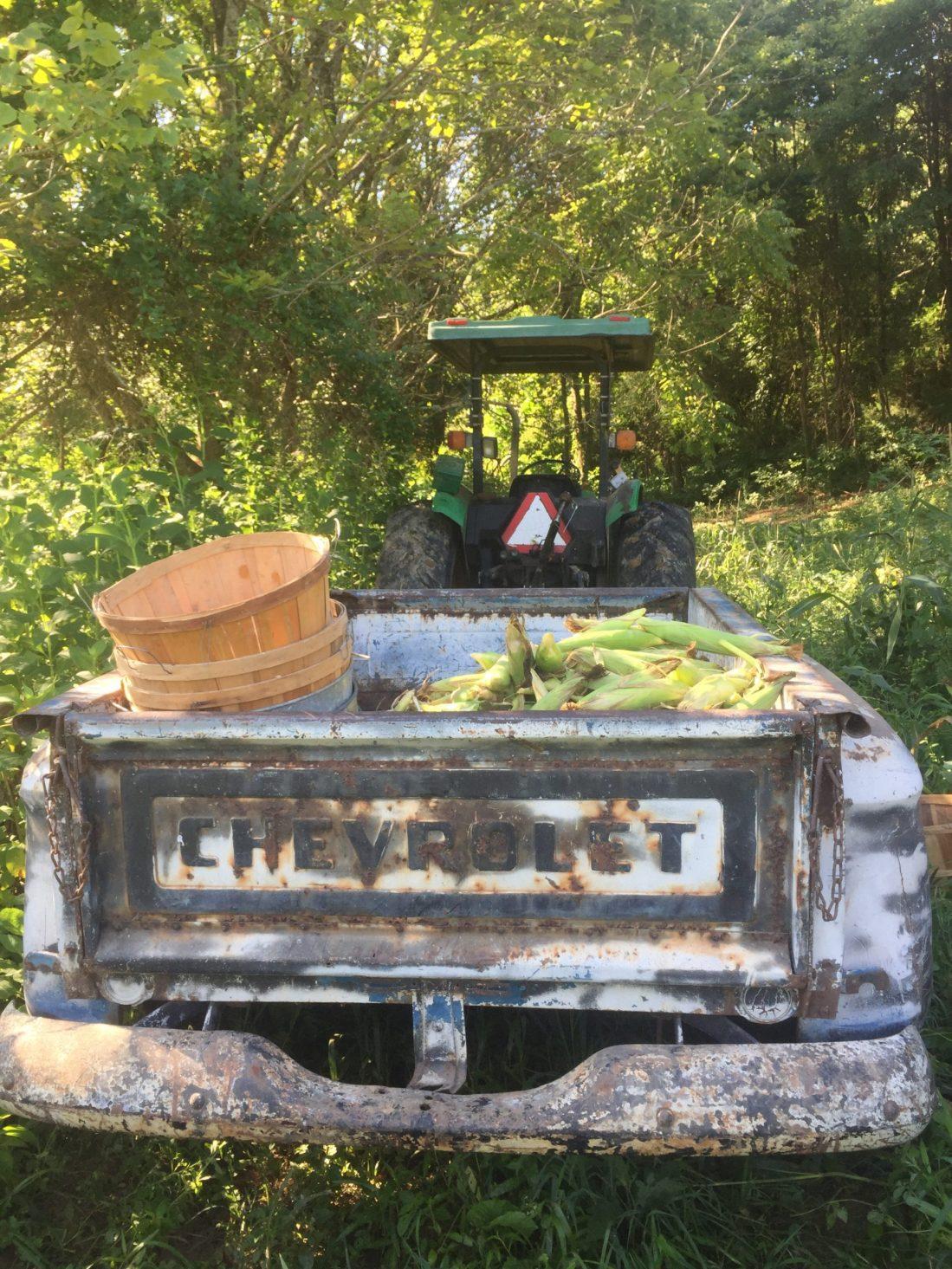 Corn harvest in old truck