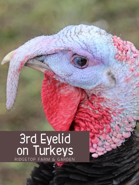 Title - Turkey 3rd Eyelid