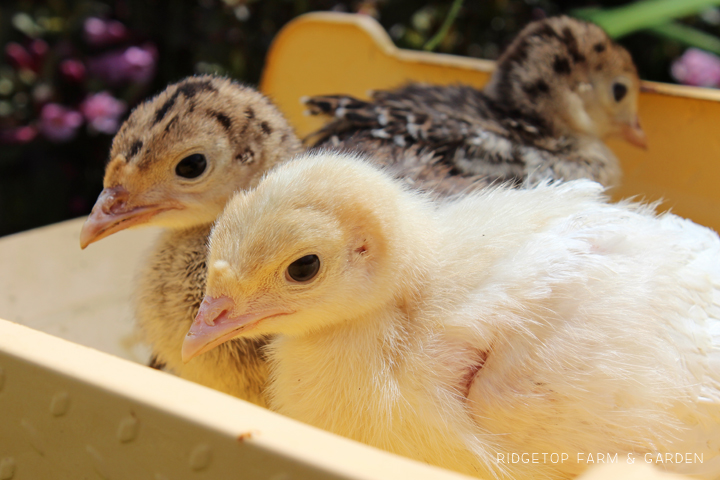 Raising Turkey Cost Poults