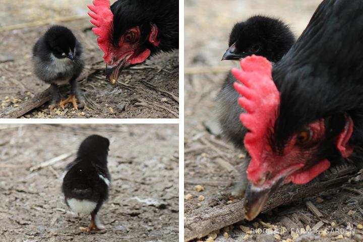 2014 Hatch Mama 1 chick2
