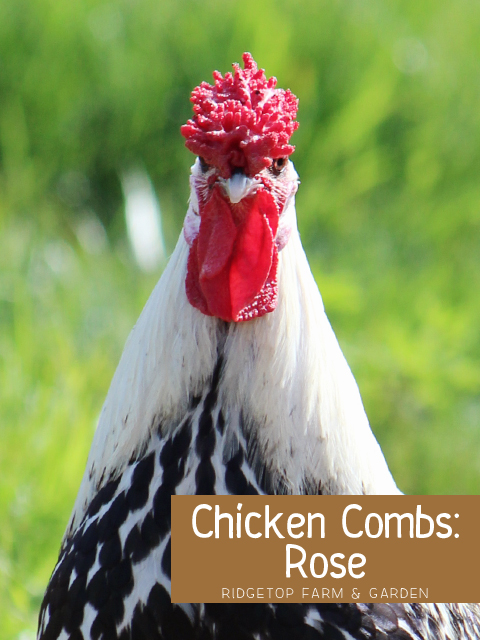 Chicken Rose Comb