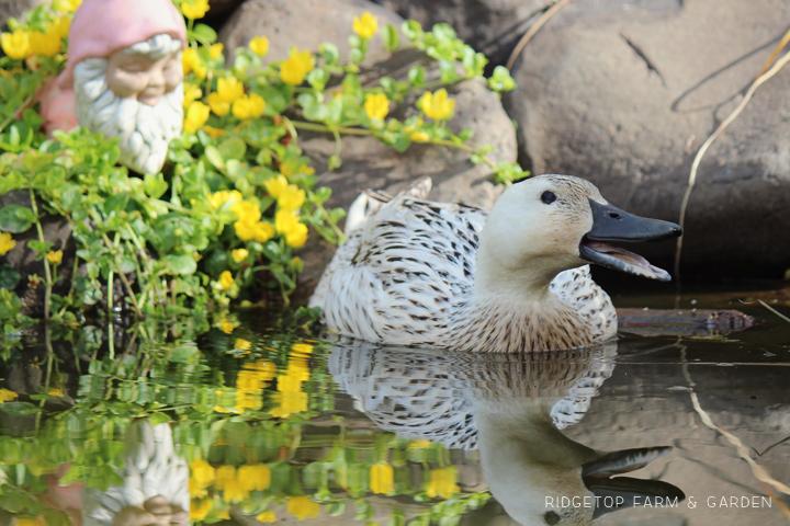 Front Pond Ducks