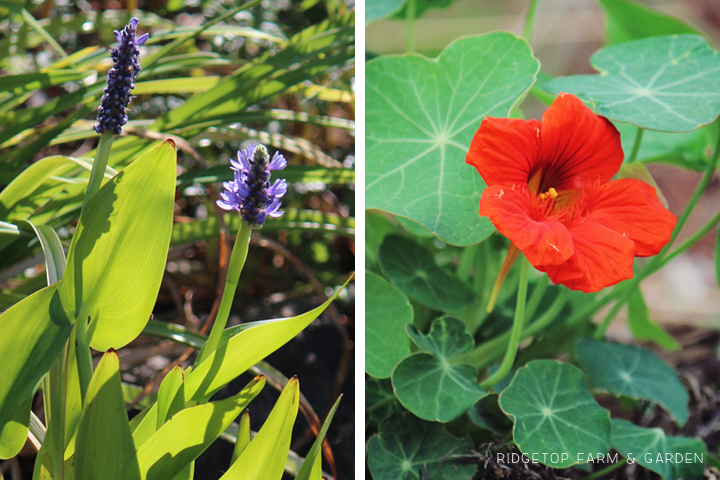Oct 2014 Bloom Day pond1