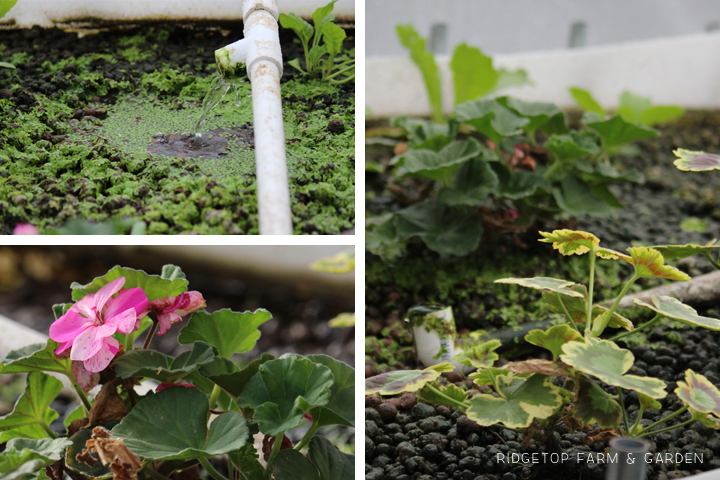 Aquaponics Update Jan2015 5
