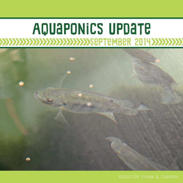 Ridgetop Farm & Garden | Aquaponics Update September 2014