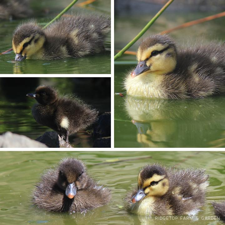 2015 Duck Hatch 1 5