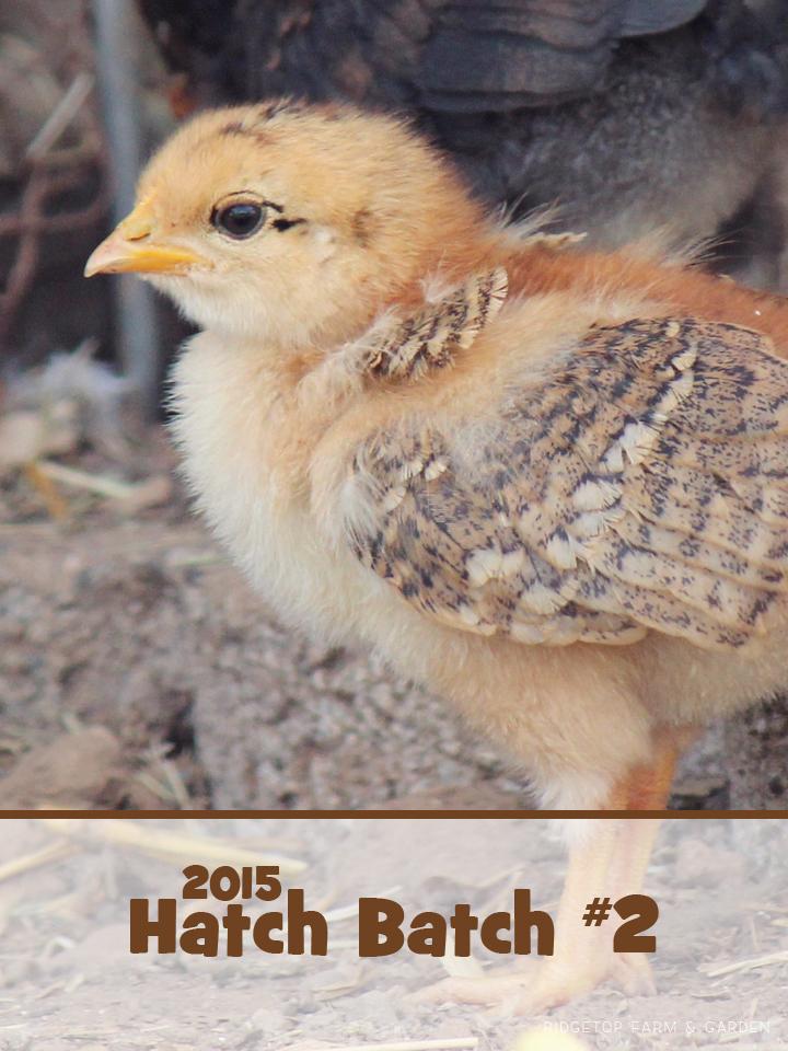 Ridgetop Farm & Garden | 2015 Mama Hen Hatch 2