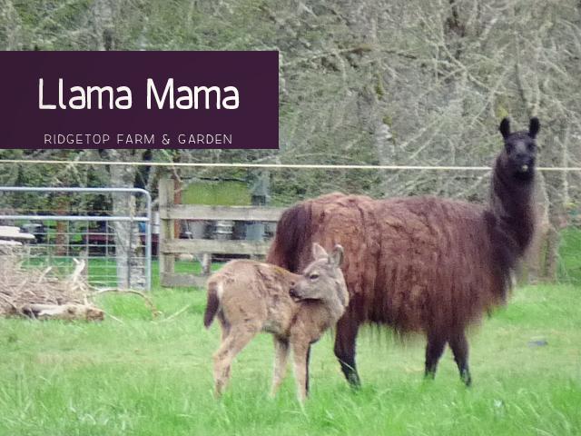Llama Mama title