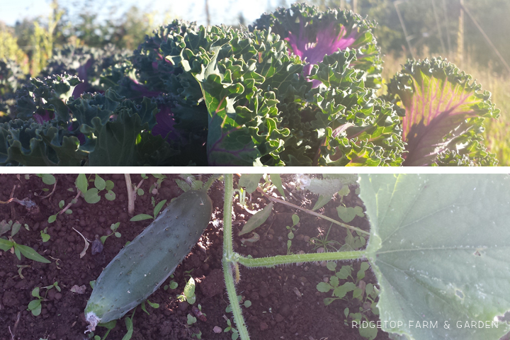 Ridgetop Farm & Garden | How Our Garden Grows | August 2015