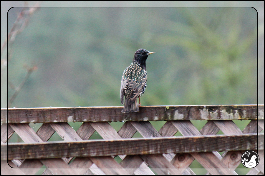 Ridgetop Farm and Garden | Great Backyard Bird Count | Starling