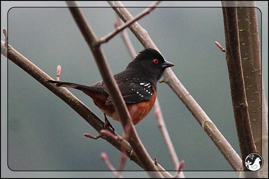 Ridgetop Farm and Garden | Great Backyard Bird Count | Spotted Towhee