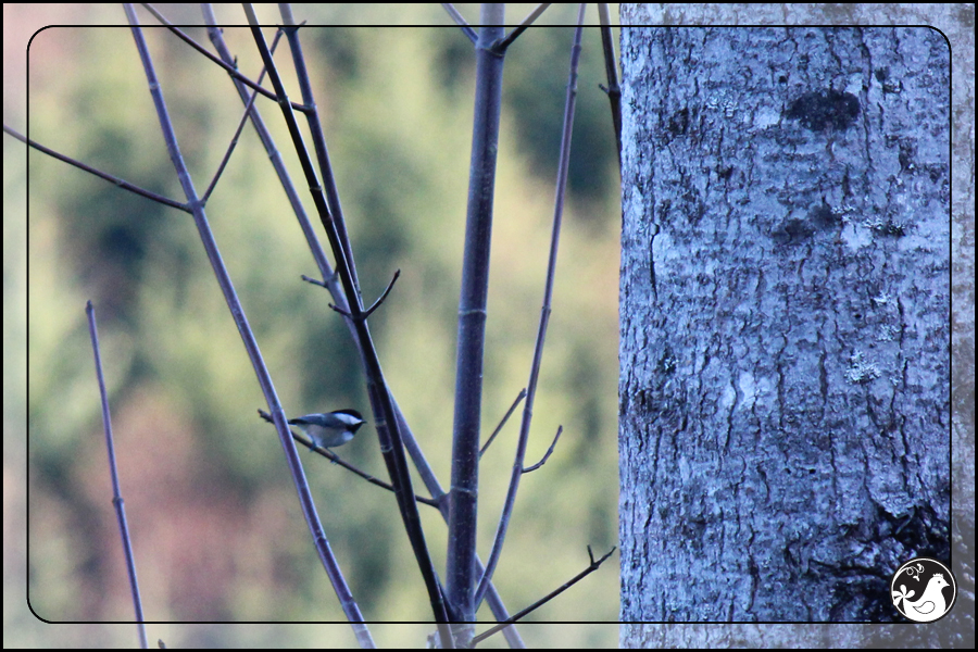 Ridgetop Farm and Garden | Great Backyard Bird Count | Black-capped Chickadee