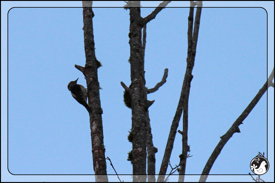 Ridgetop Farm and Garden | Great Backyard Bird Count | Hairy Woodpecker