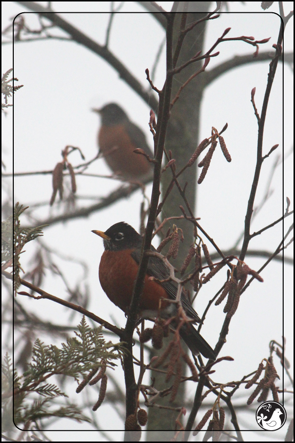 Ridgetop Farm and Garden | Great Backyard Bird Count | Robin