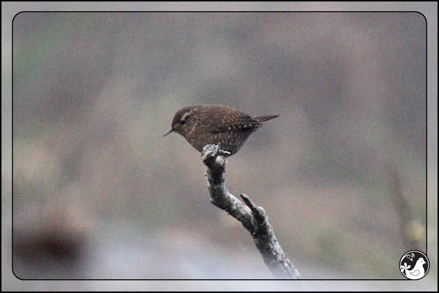 Ridgetop Farm and Garden | Great Backyard Bird Count | Pacific Wren