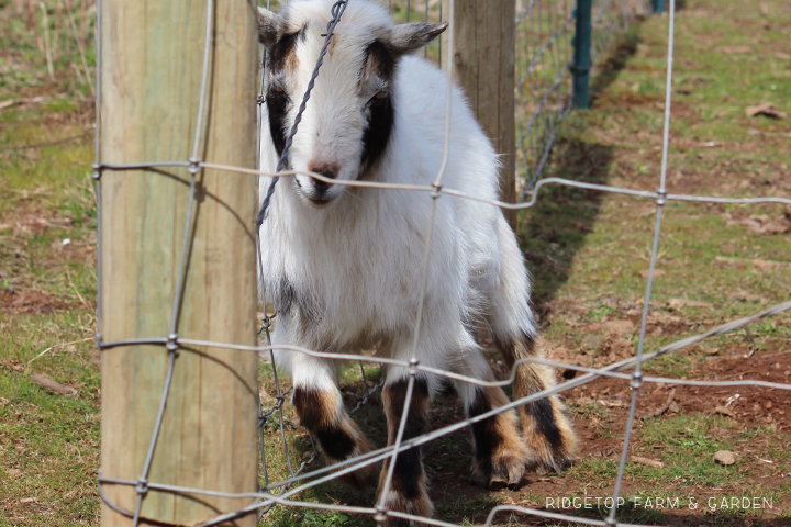 Ridgetop Farm & Garden | What the Goats Have Been Doing | Nigerian Dwarf Goat