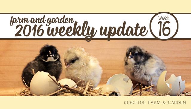 Ridgetop Farm and Garden | 2016 Update | Week 16