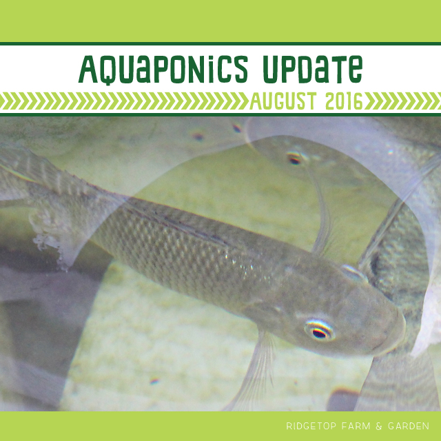 Ridgetop Farm and Garden | Aquaponics Update | August 2016