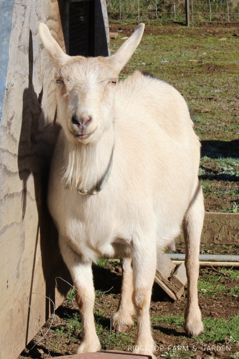 Ridgetop Farm and Garden | Our Goat Herd | Nigerian Dwarf | Willow