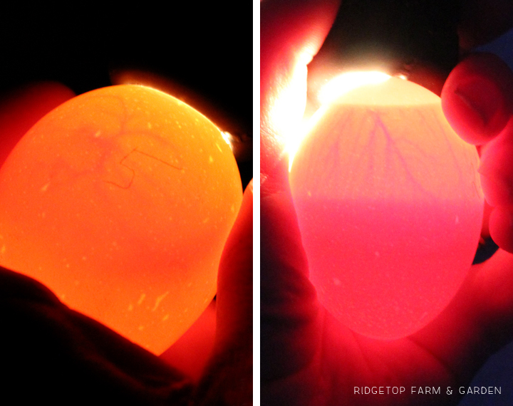 Ridgetop Farm and Garden | Candling Chicken Eggs