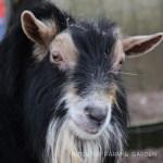 Our Goat Herd: Crash