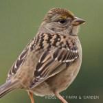 Birds 'round Here: Golden-crowned Sparrow