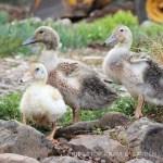 3 Little Ducklings