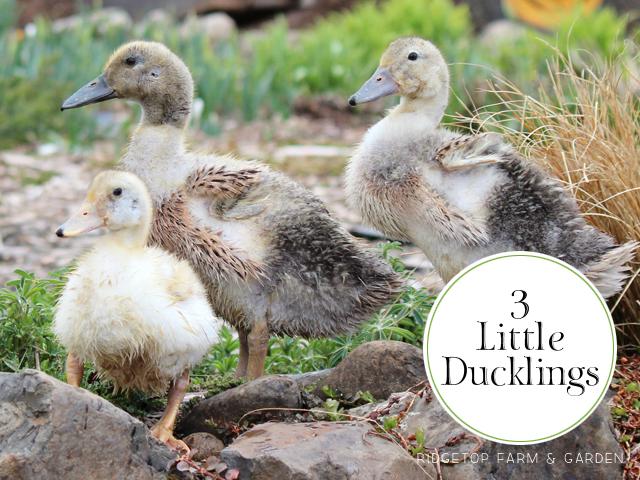 Ridgetop Farm and Garden   Welsh Harlequin Ducks