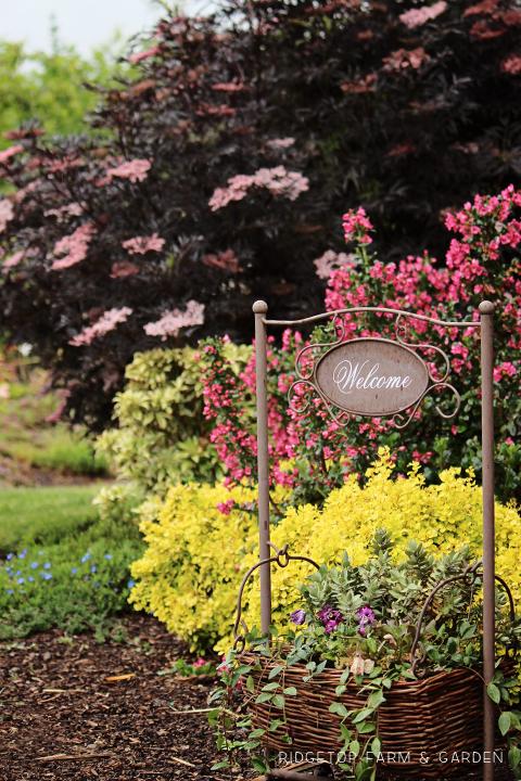 Ridgetop Farm and Garden   Pride of Donnard Escallonia