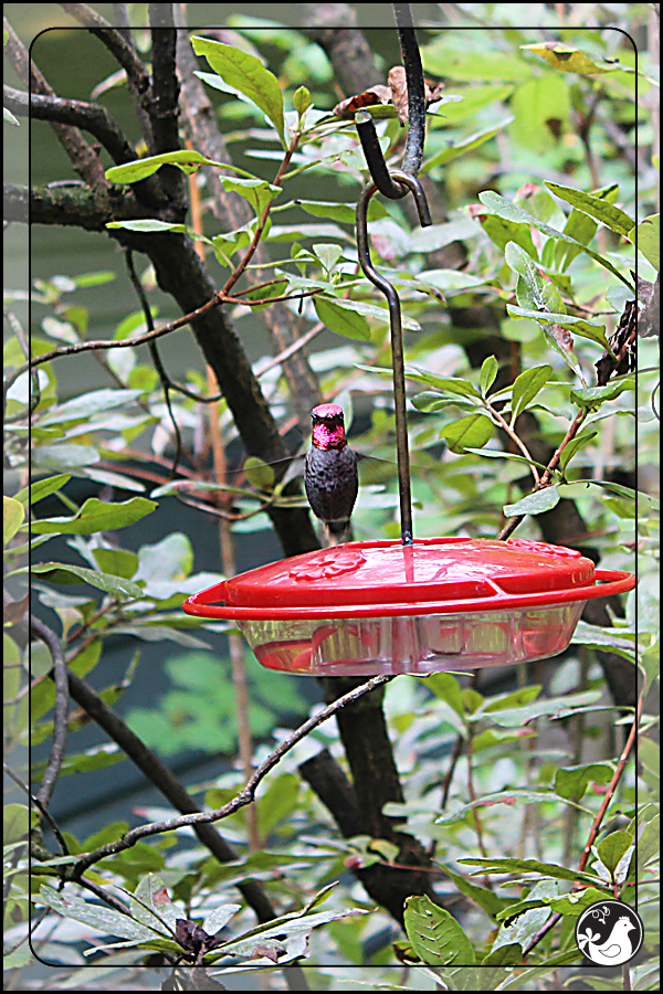Ridgetop Farm and Garden | Birds of 2013 | Week 38 | Audubon Society | Anna's Hummingbird