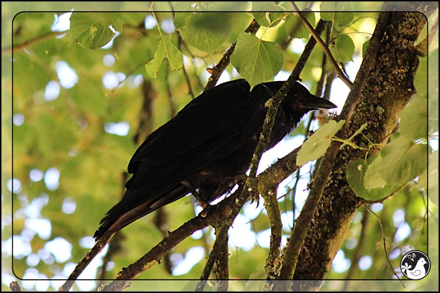 Ridgetop Farm and Garden   Birds of 2013   Week 29   Laurelhurst Park