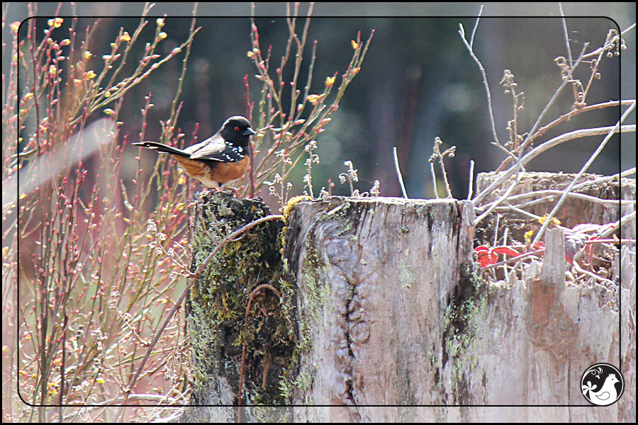 Ridgetop Farm and Garden | Birds of 2013 | Week 13 | Spotted Towhee