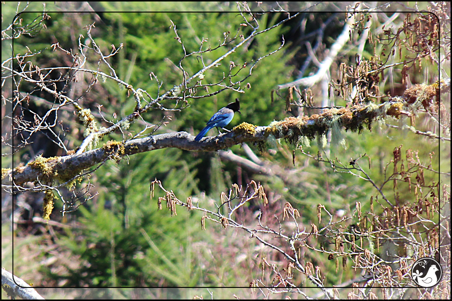 Ridgetop Farm and Garden | Birds of 2013 | Week 13 | Steller's Jay