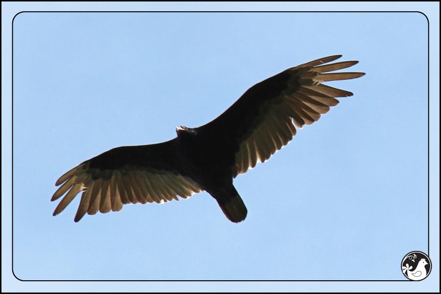 Ridgetop Farm and Garden | Birds of 2013 | Week 25 | Turkey Vulture