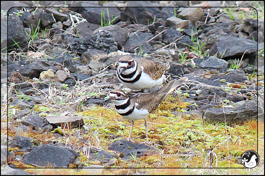 Ridgetop Farm and Garden | Birds of 2013 | Week 9 | Killdeer