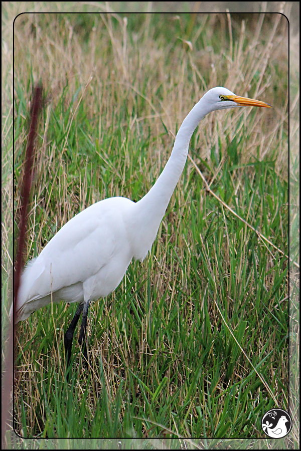 Ridgetop Farm and Garden | Birds of 2013 | Week 11 | Great Egret