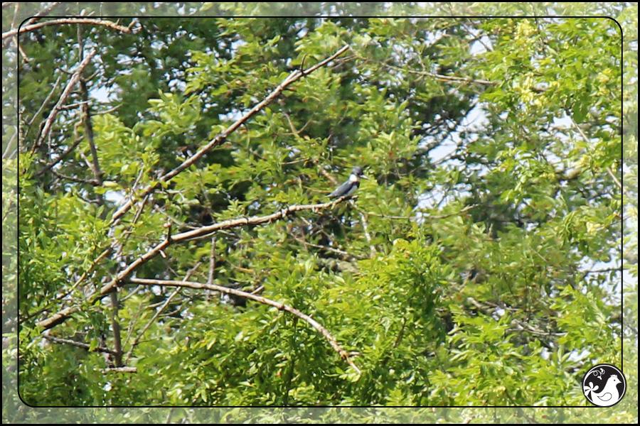 Ridgetop Farm and Garden | Birds of 2013 | Week 21 | Belted Kingfisher