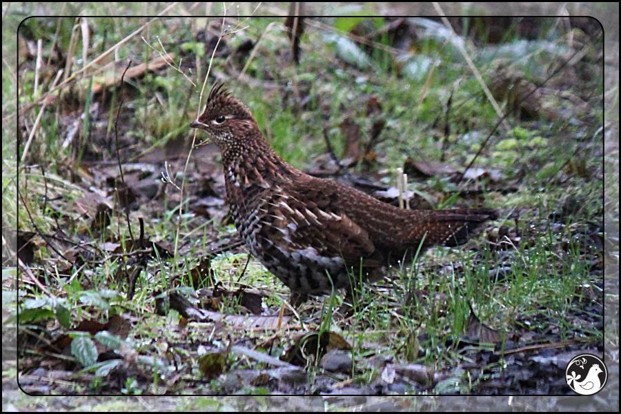 Ridgetop Farm and Garden | Birds of 2013 | Week 10 | Ruffed Grouse