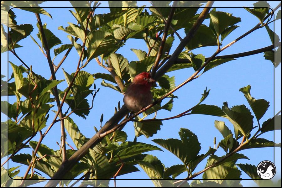 Ridgetop Farm and Garden | Birds of 2013 | Week 25 | House Finch