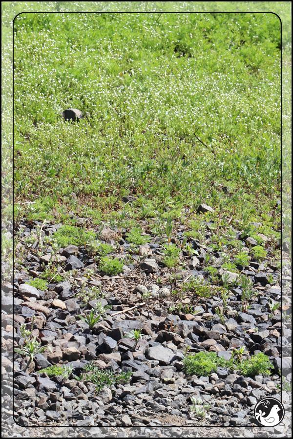 Ridgetop Farm and Garden | Birds of 2013 | Week 23 | Killdeer