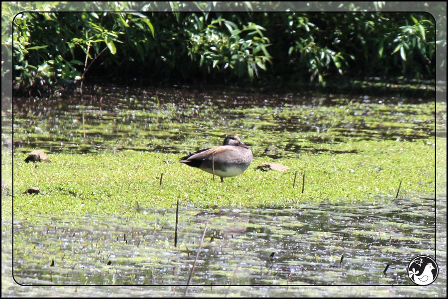 Ridgetop Farm and Garden | Birds of 2013 | Week 21 | Gadwall