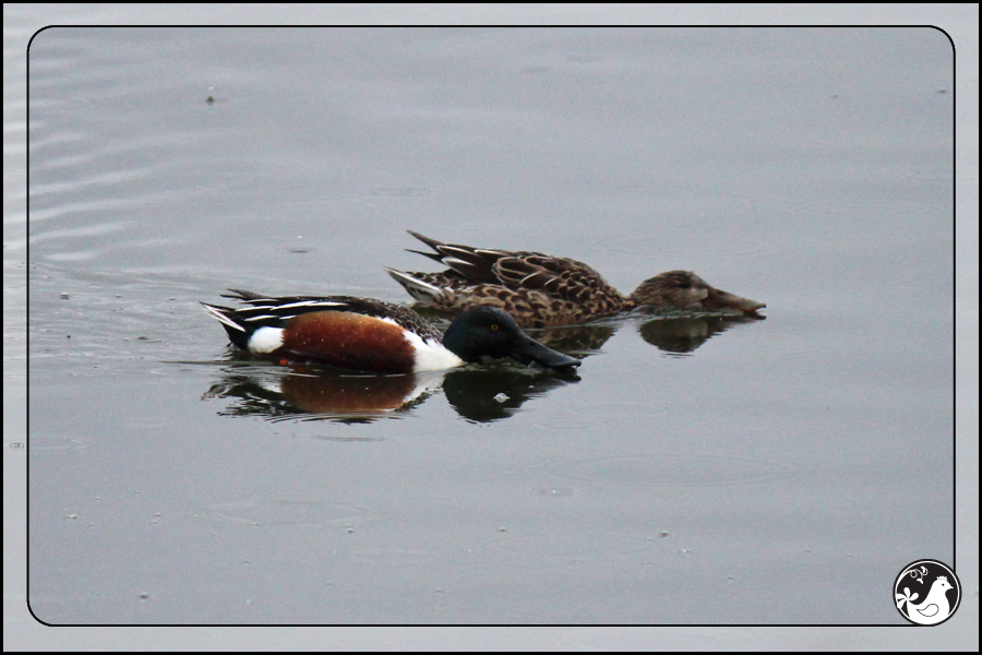 Ridgetop Farm and Garden | Birds of 2013 | Week 11 | Northern Shoveler