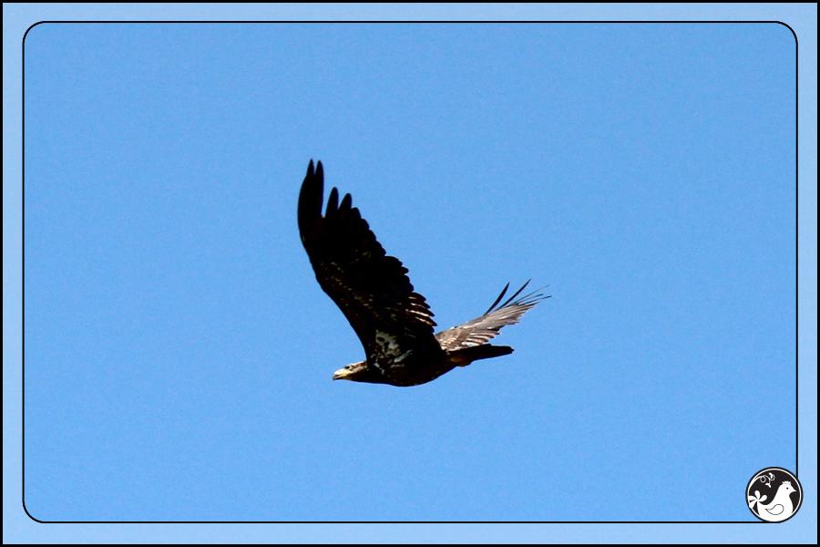 Ridgetop Farm and Garden | Birds of 2013 | Week 21 | Young Bald Eagle