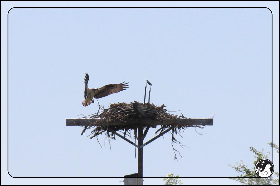 Ridgetop Farm and Garden | Birds of 2013 | Week 21 | Osprey