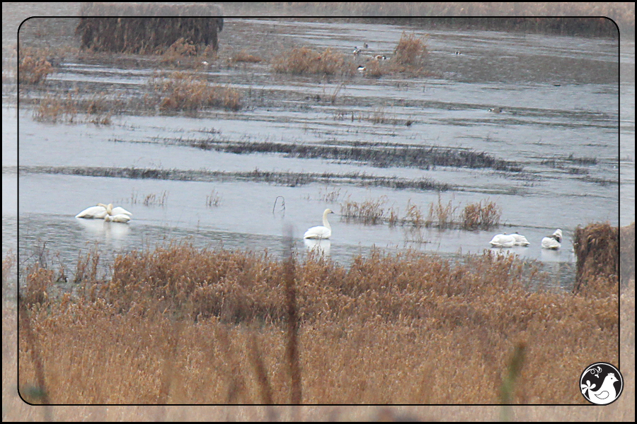 Ridgetop Farm and Garden | Birds of 2013 | Week 11 | Trumpeter Swan