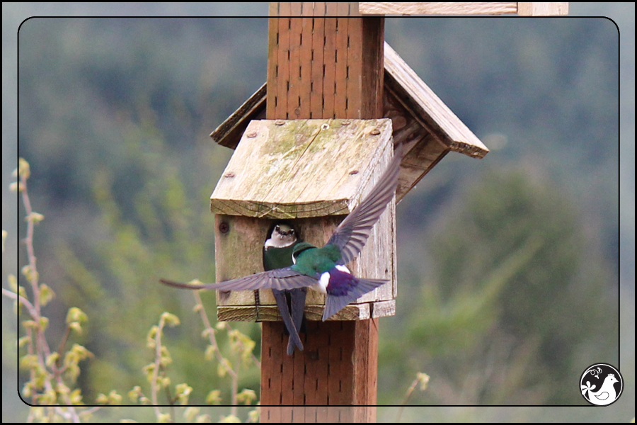 Ridgetop Farm and Garden | Birds of 2013 | Week 17 | Violet-green Swallows