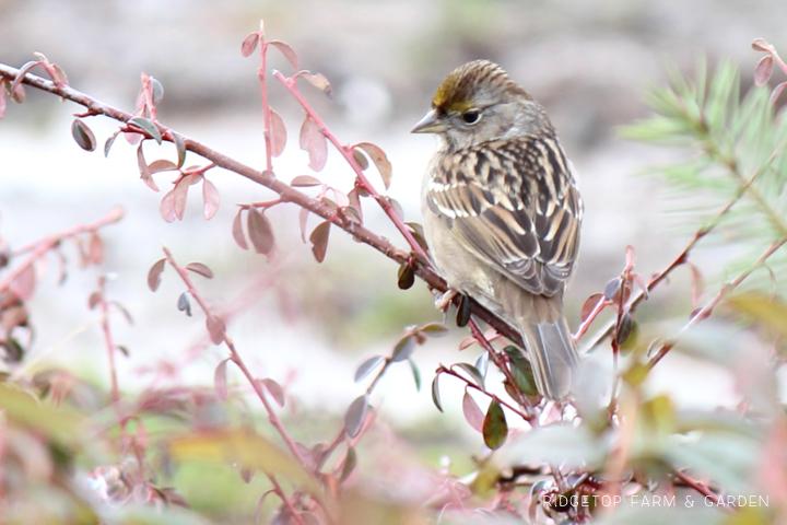 Ridgetop Farm and Garden   2017 Great Backyard Bird Count   GBBC   Golden-crowned Sparrow