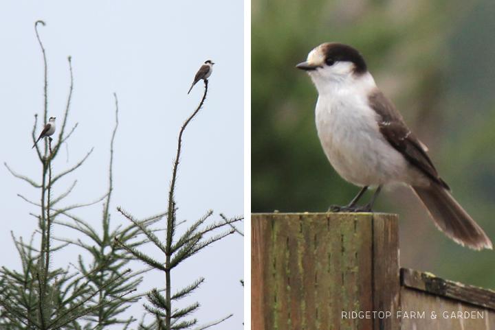 Ridgetop Farm and Garden   2017 Great Backyard Bird Count   GBBC   Gray Jay